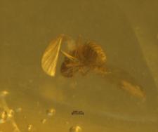 Psychodidae