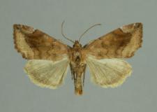 Cosmia pyralina (Denis & Schiffermüller, 1775)