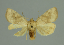Cosmia trapezina (Linnaeus, 1758)