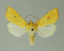 Xanthia icteritia (Hufnagel, 1766)