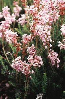 Erica spiculifolia Salisb., synonim Bruckenthalia spiculifolia (Salisb.) Rchb.