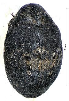 Byrrhus arietinus Steffahny, 1842
