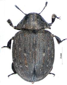 Byrrhus fasciatus Forster, 1771