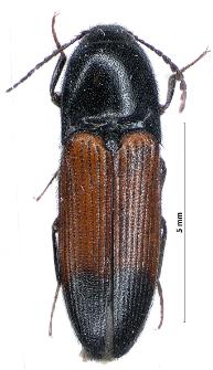 Ampedus balteatus (Linnaeus, 1758)