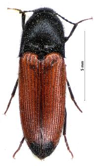 Ampedus praeustus (Fabricius, 1792)