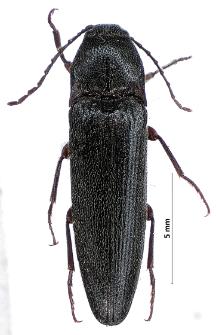 Melanotus brunnipes (Germar, 1824)