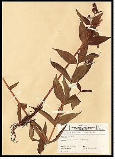 Lysimachia vulgaris L.