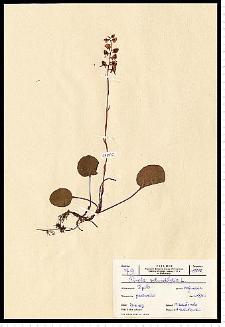 Pyrola rotundifolia L.