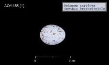 Certhia brachydactyla