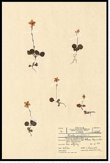 Moneses uniflora (L.) A. Gray