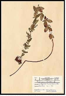 Hypericum maculatum Crantz