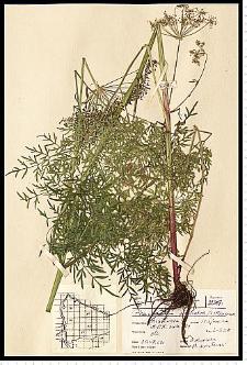 Peucedanum palustre (L.) Moench