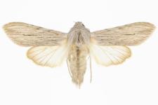 Cucullia lactucae