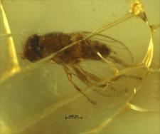 Diptera (Brachycera, Acalyptratae)
