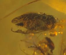 Hymenoptera (Auchenorrhyncha)