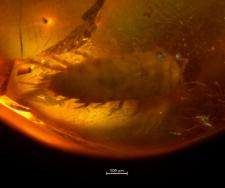 Arthropoda (Crustacea)