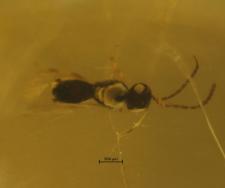 Hymenoptera (Chalcidoidea)