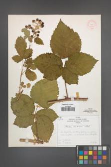 Rubus kuleszae [KOR 51998]