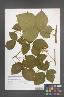 Rubus kuleszae [KOR 41190]