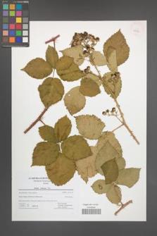 Rubus kuleszae [KOR 42722]