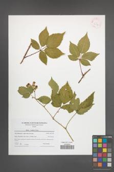 Rubus koehleri [KOR 42176]