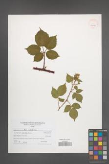 Rubus koehlerii [koehleri] [KOR 40663]