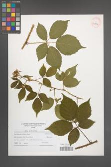 Rubus koehlerii [koehleri] [KOR 40726]