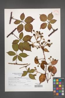 Rubus koehlerii [koehleri] [KOR 40779]