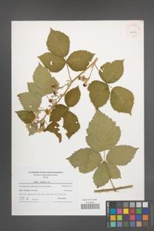 Rubus kuleszae [KOR 40654]