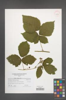 Rubus kuleszae [KOR 40656]