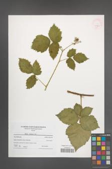Rubus kuleszae [KOR 45993]