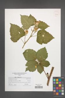 Rubus kuleszae [KOR 41201]