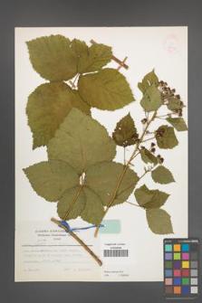 Rubus kuleszae [KOR 24792]