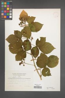 Rubus kuleszae [KOR 24786a]