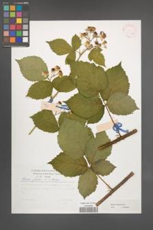 Rubus kuleszae [KOR 30501a]