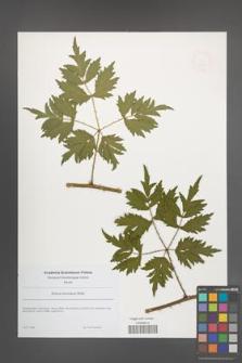 Rubus laciniatus [KOR 49070]