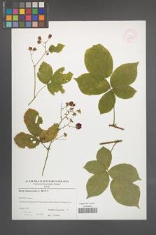 Rubus lamprocaulos [KOR 52891]
