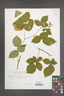 Rubus lamprocaulos [KOR 39128]