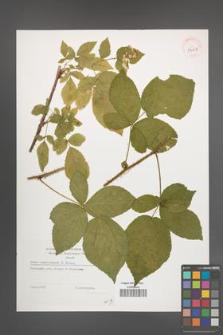 Rubus lamprocaulos [KOR 39127]