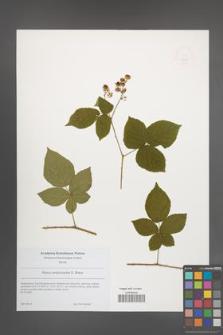 Rubus lamprocaulos [KOR 49208]