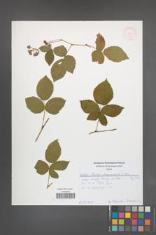 Rubus lamprocaulos [KOR 52002]