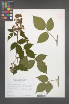 Rubus lasquiensis [KOR 51758]