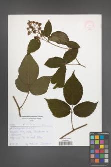 Rubus lasquiensis [KOR 52583]