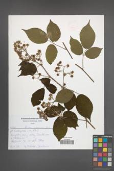 Rubus lasquiensis [KOR 52570]