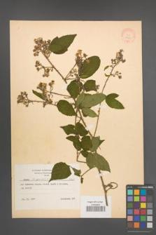 Rubus lasquiensis [KOR 8663]