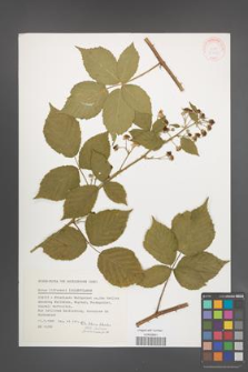 Rubus lidforssii [KOR 32128]