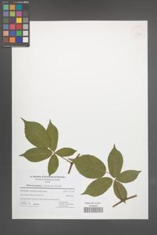 Rubus lucentifolius [KOR 42741]