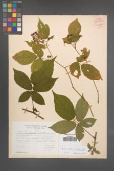 Rubus lucentifolius [KOR 54032]