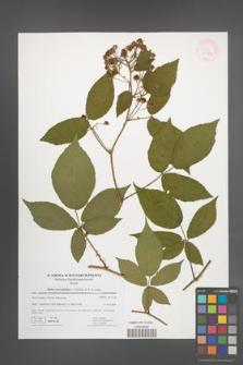 Rubus lucentifolius [KOR 41751]
