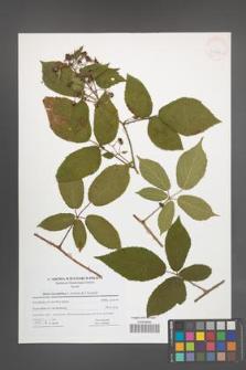 Rubus lucentifolius [KOR 41625]